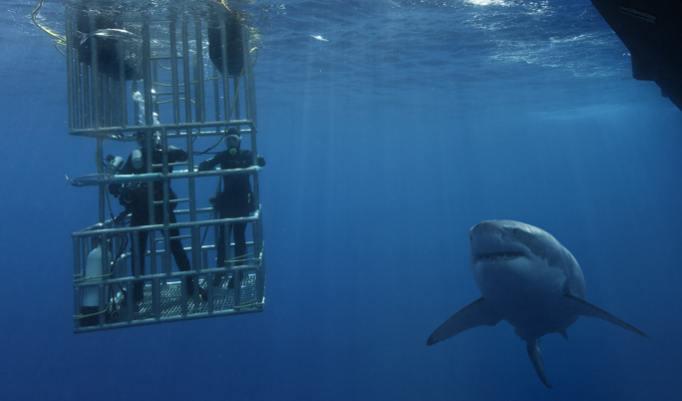 Weißer Hai am Käfig