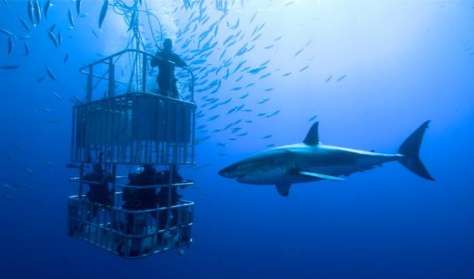 Hai tauchen in Guadalupe
